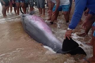 http://vnoticia.com.br/noticia/1281-baleia-encalha-na-praia-de-santa-clara