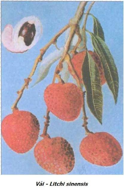 Cành có Quả Vải - Litchi sinensis - Nguyên liệu làm thuốc Chữa Đi Lỏng-Đau Bụng