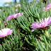 Lampranthus hibrido - Suculenta de Rara Beleza