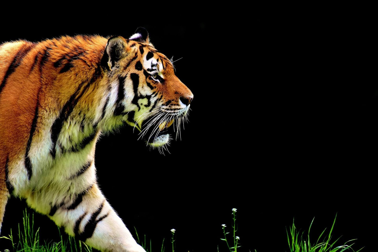 tiger images free download