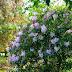pierisy i rododendrony