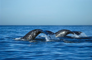 gray whales, California