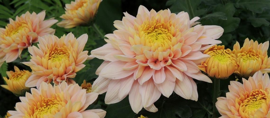 Crisantemos en Longwood Gardens