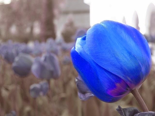 Foto Gambar Bunga Tulip Warna Biru