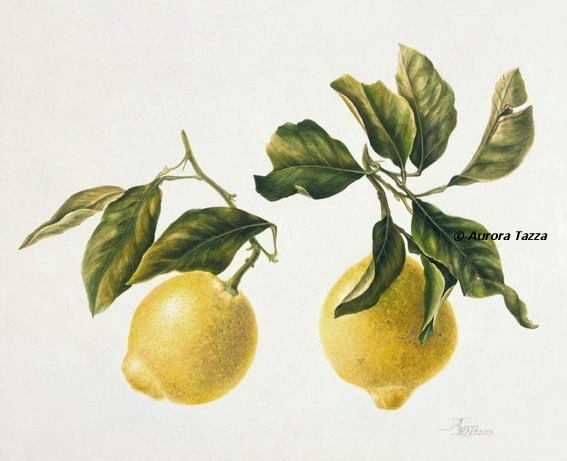 Limoni Disegno: Hortus Floridus Di Aurora Tazza : Luglio 2012