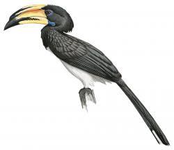 Lophoceros semifasciatus