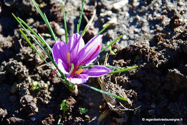 fleur de safran, crocus Sativus