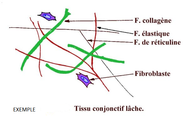 les fibres de tissu conjonctif