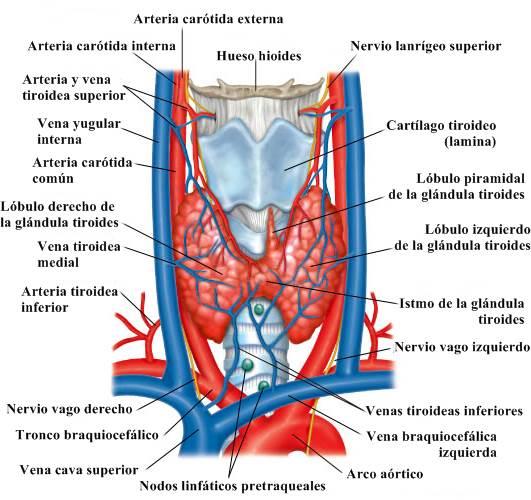 Glándula tiroides y paratiroides: anatomía, estructura, funciones ...