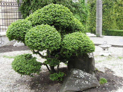 Bonsai tree in Japanese garden