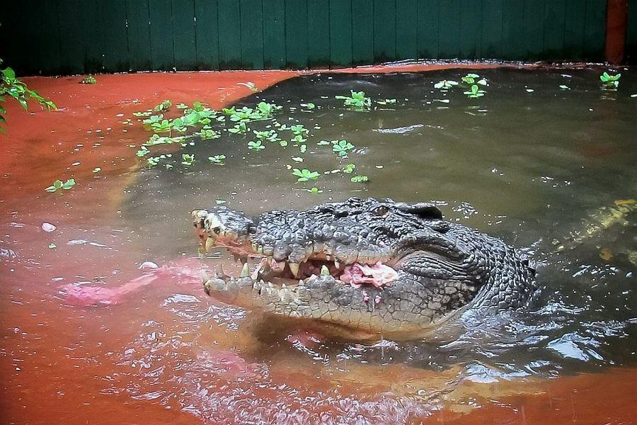 Pix Grove Cassius Clay World S Largest Crocodile
