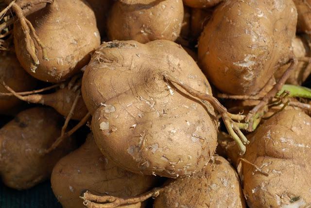 Củ Đậu - Pachyrhizus erosus-Nguyên liệu làm thuốc Có Chất Độc
