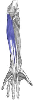 flexor digitorum profundus muscle