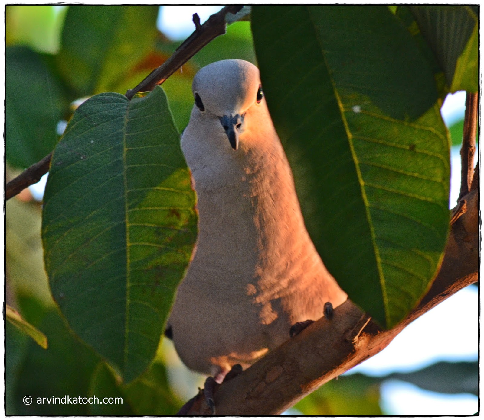 Eyes, Dove, Guava tree,