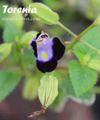 Torenia koleksi Rumah Bunga Neisha