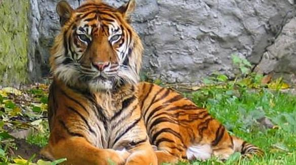 Alasan Mengapa Harimau Sumatera Harus Dilindungi