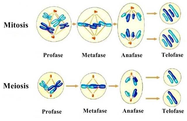 Mitosis y Meiosis - Características, fases y gráficas