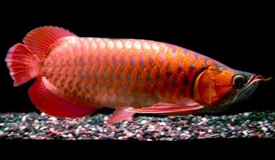 Gambar Ikan Arwana Blood Red