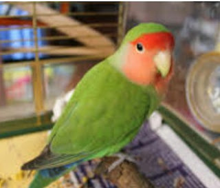 Cara Terbaik Perawatan Lovebird Menjelang Diikut Sertạkan Dalam Lomba