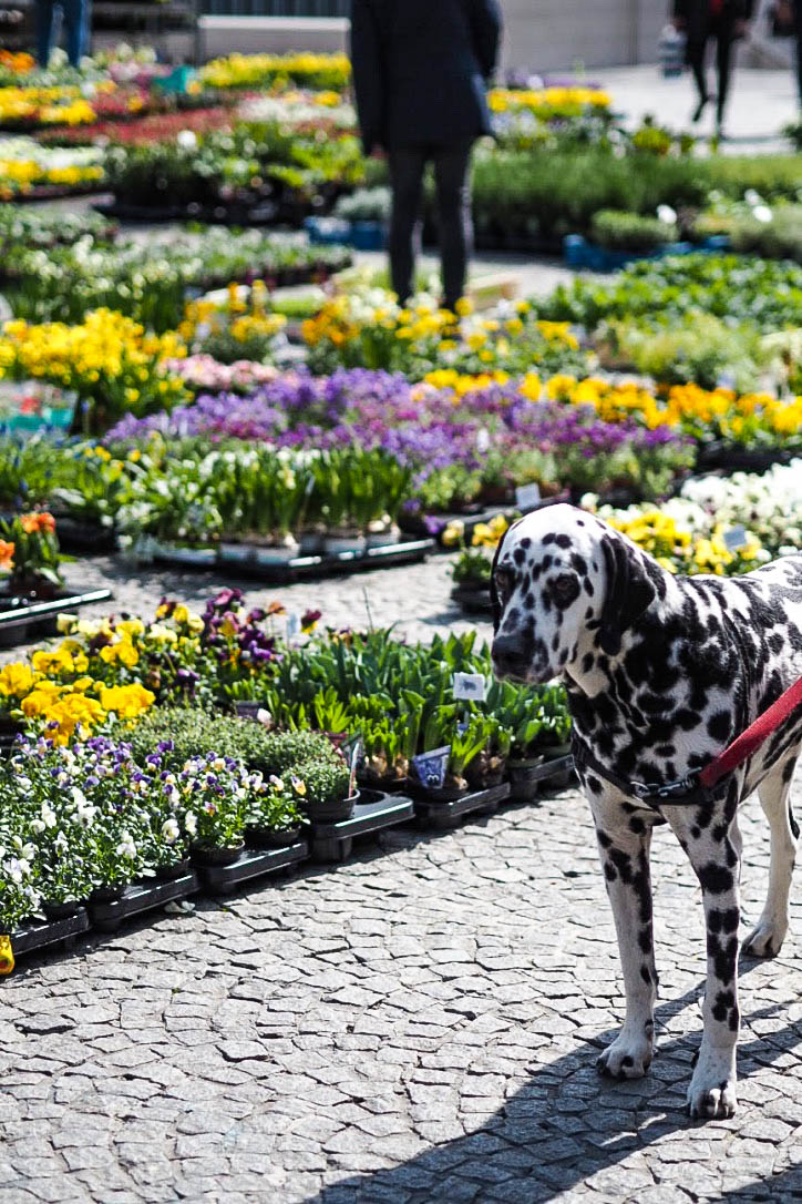Dalmatian in a flower market
