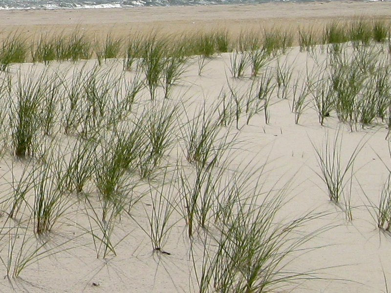 "Image ""Dune Grass at Assateague"" - Copyright K. R. Smith 2013 - may be used with attribution"
