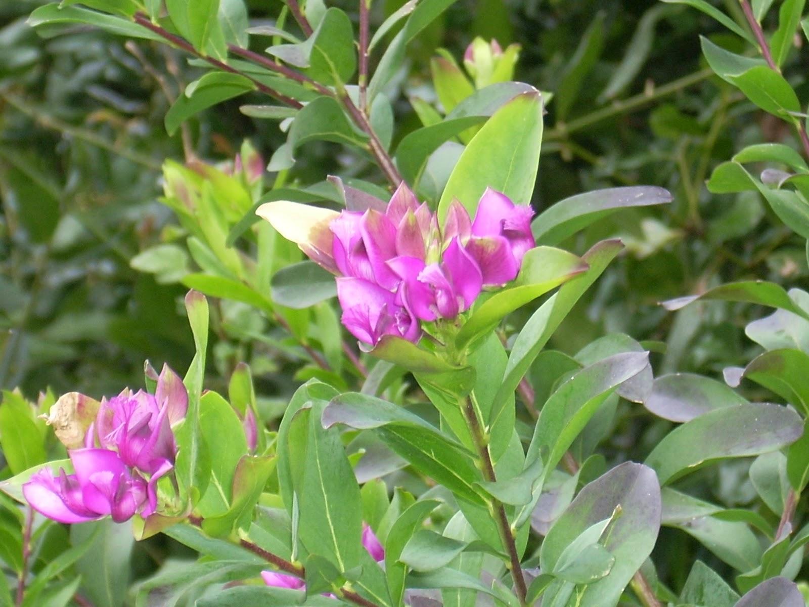 arbustes fleuris pratiquement toute l 39 ann e les jardins botaniques de la boirie. Black Bedroom Furniture Sets. Home Design Ideas