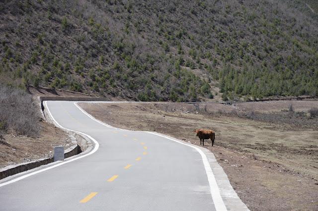 Vache qui fait la circulation