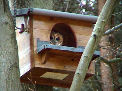 kandang burung hantu barn owl