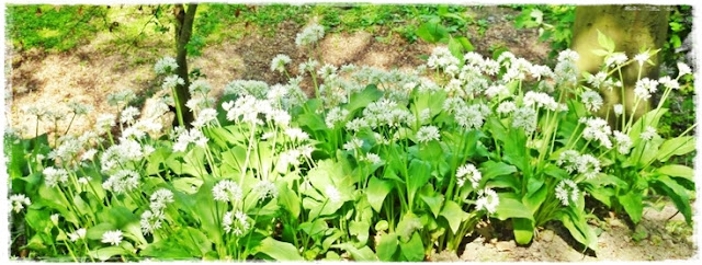 Padstow-eild-garlic-woods