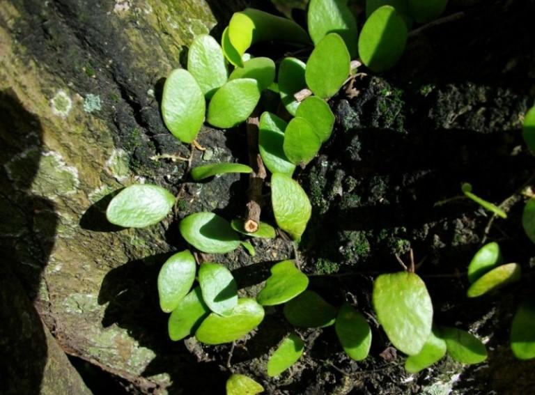 tanaman oabat sisik naga