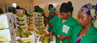 As A Result of Better Fruit Storage - #Mali Multiplies Mango Exports