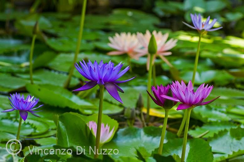 Vasche In Plastica Per Ninfee.In Un Giardino Ninfee Tropicali Belle E Possibili