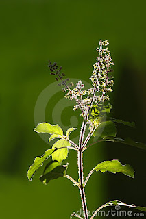 tulsi a best remedy to avoid diseases