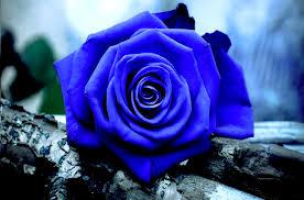 hoa hồng xanh đẹp nhất 2017 5