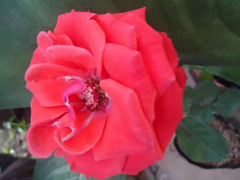 49 Gambar Bunga Mawar Kata Kata