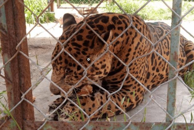 Evacuan zoológico en Tlaxcala; escapan dos jaguares