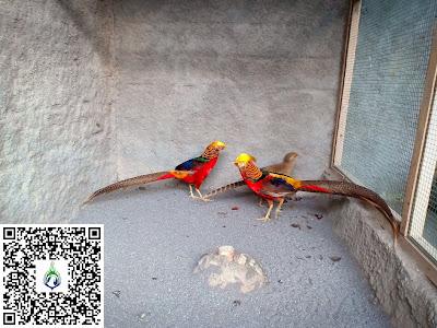 Budidaya ayam golden pheasant