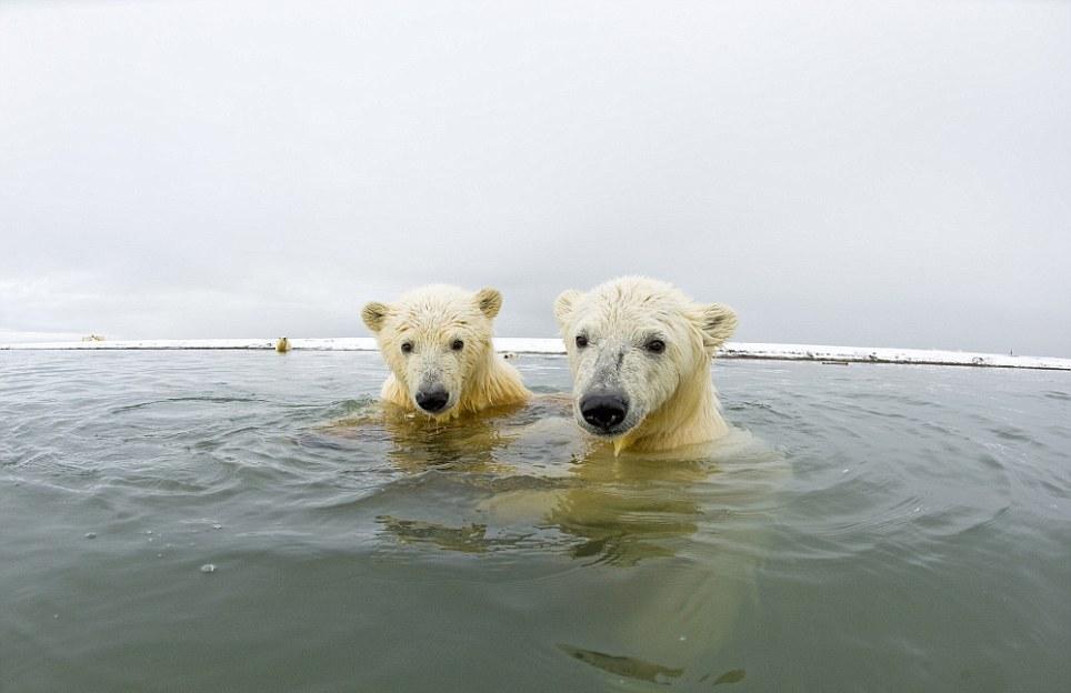الدببة القطبية 0_94f08_cd5ee648_ori