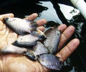 Grup Budidaya Pertanian Panduan Cara Ternak Ikan Gurame Agar Cepat Besar