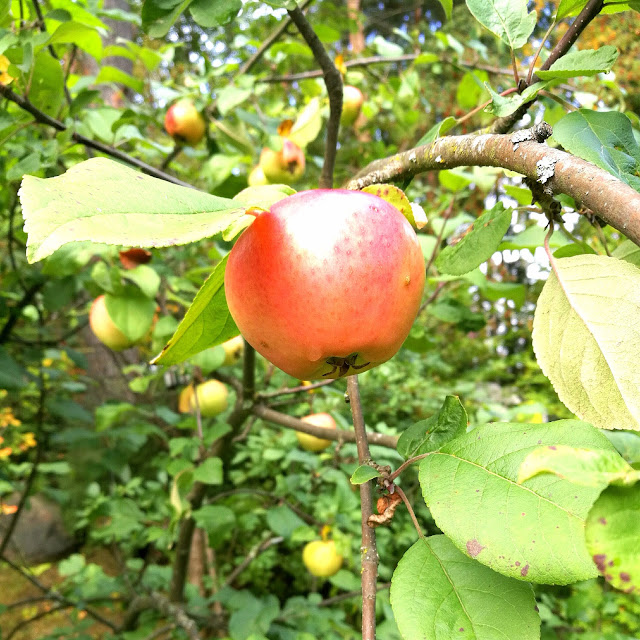 Saippuakuplia olohuoneessa- blogi, kuva Hanna Poikkilehto, omenapuu, syksy, 2017, koti, piha, onnellisuus, arki,