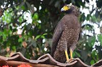 Jenis burung elang di indonesia yang belum anda ketahui