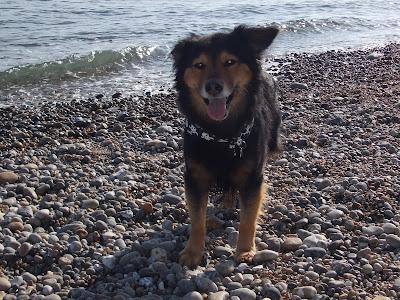 Max-dog-pet