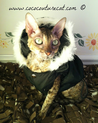 Coco the Cornish Rex in puffer coat with fake fur hood