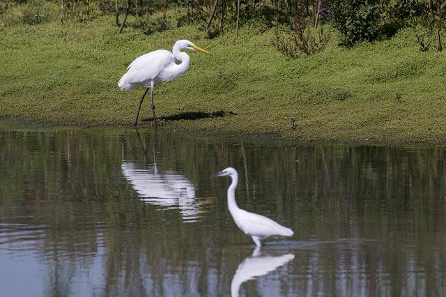 Great White Egret & Little Egret