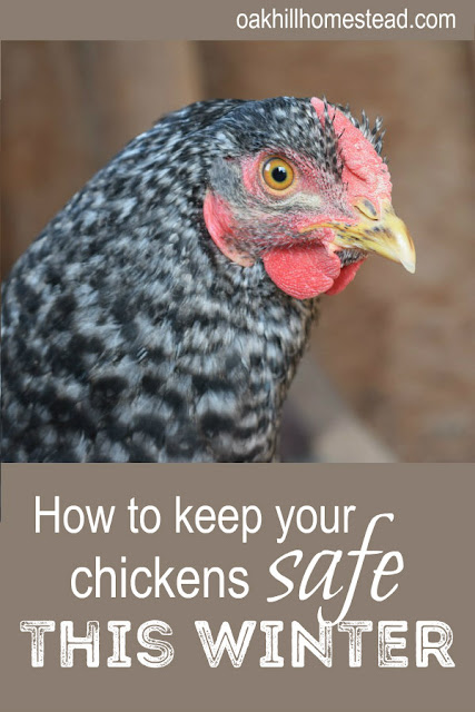 How to keep your chickens safe from predators this winter.
