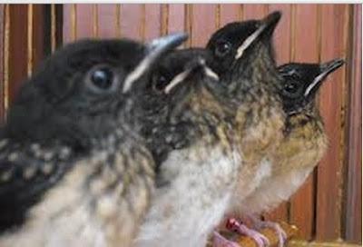Download Suara Burung Murai Batu segalahobi.com