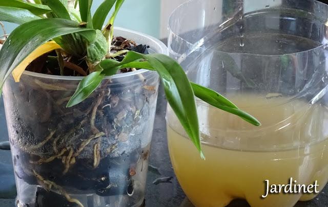 Adubação orgânica para orquídeas