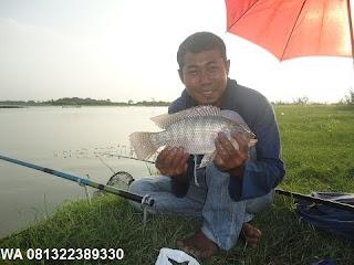 Umpan Serbuk Ikan Nila Di Air Bening/Jernih