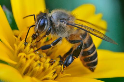10 Fakta Unik tentang Lebah Penghasil Madu