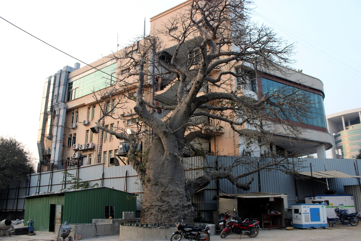 Journeys across Karnataka Baobab tree of Nanakramguda Hyderabad